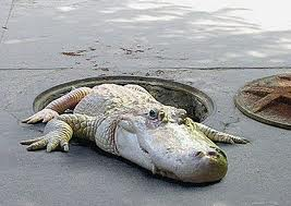 Leggende metropolitane: alligatore nelle fogne